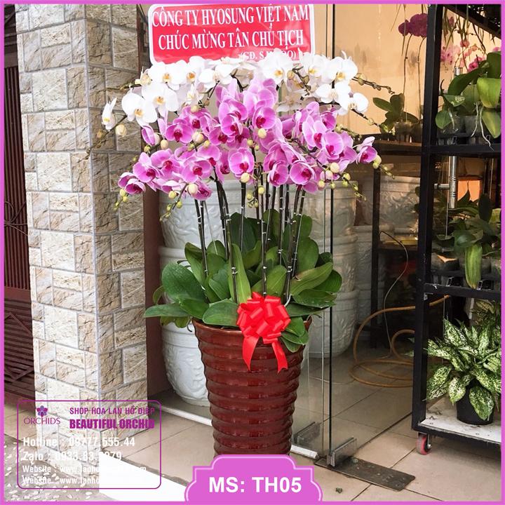 Chậu hoa lan hồ điệp trắng hồng 16 cành TH05