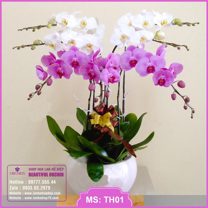 Chậu hoa lan hồ điệp trắng hồng 7 cành TH01