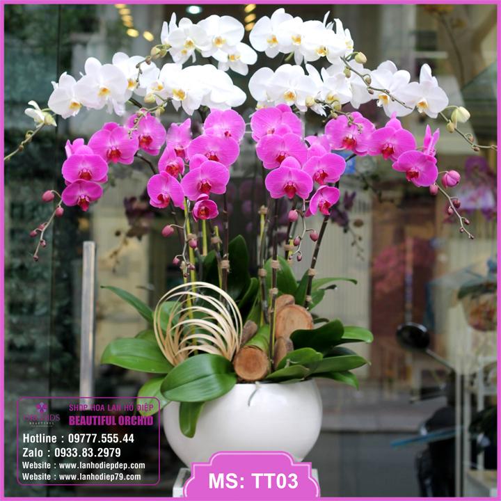 Chậu hoa lan hồ điệp trắng tím 10 cành TT03