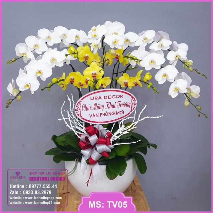 Chậu hoa lan hồ điệp trắng vàng 10 cành TV05