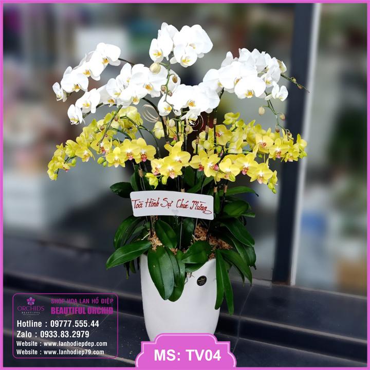 Chậu hoa lan hồ điệp trắng vàng 18 cành TV04