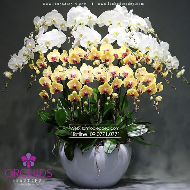 Chậu hoa lan hồ điệp trắng vàng