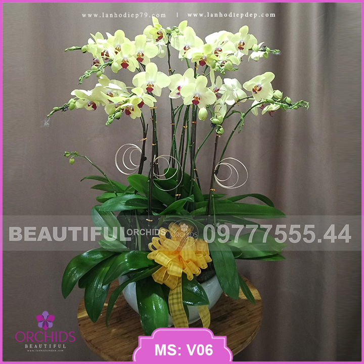 Chậu hoa lan hồ điệp vàng 10 cành V06