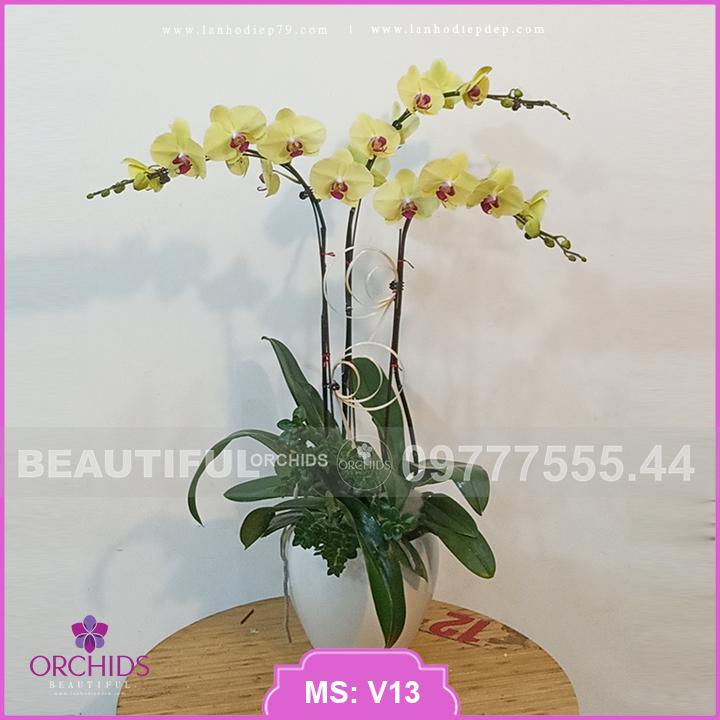 Chậu hoa lan hồ điệp vàng 3 cành xinh xắn V13