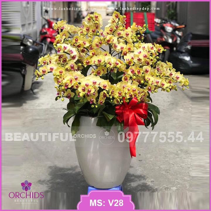 Chậu hoa lan hồ điệp Đẹp màu Vàng 39 cành V28