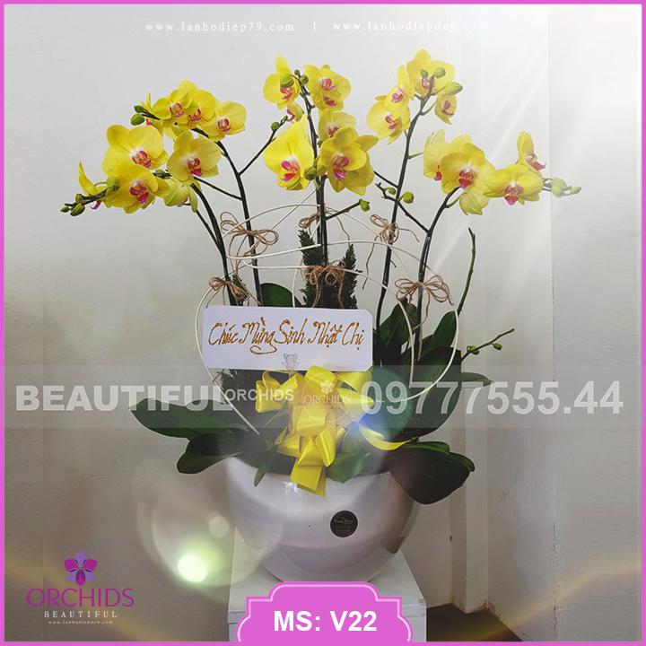 Chậu hoa lan hồ điệp Vàng 5 cành cực đẹp V22