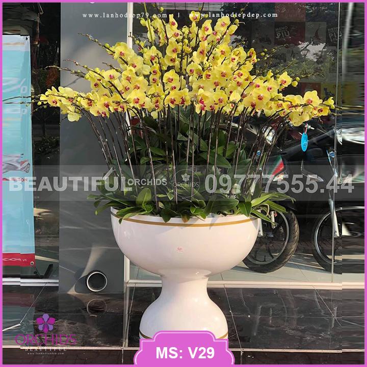 Chậu hoa lan hồ điệp Vàng 50 cành Siêu Đẹp V29
