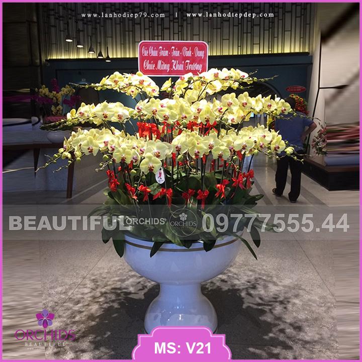 Chậu hoa lan Vàng Đẹp 50 cành lan hồ điệp V21