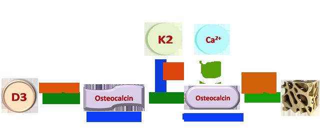 Cơ chế cải thiện chiều cao của vitamin K2