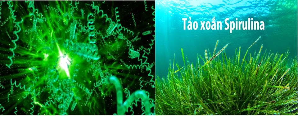 Bạn có biết công dụng của tảo biển Spirulina Nhật Bản?!
