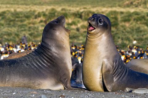 King seal giá bao nhiêu