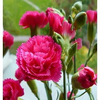 Cẩm chướng Hồng (Bó 20 cành)