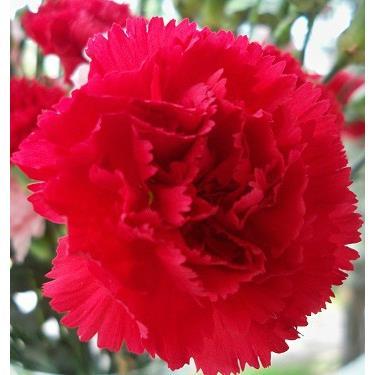 Cẩm chướng Đỏ (Bó 20 cành)
