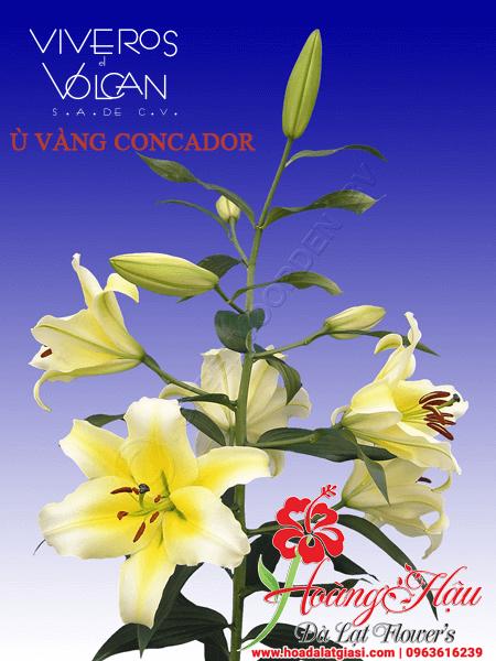 Ly Ù Vàng (Bó 5 cây Loại A)