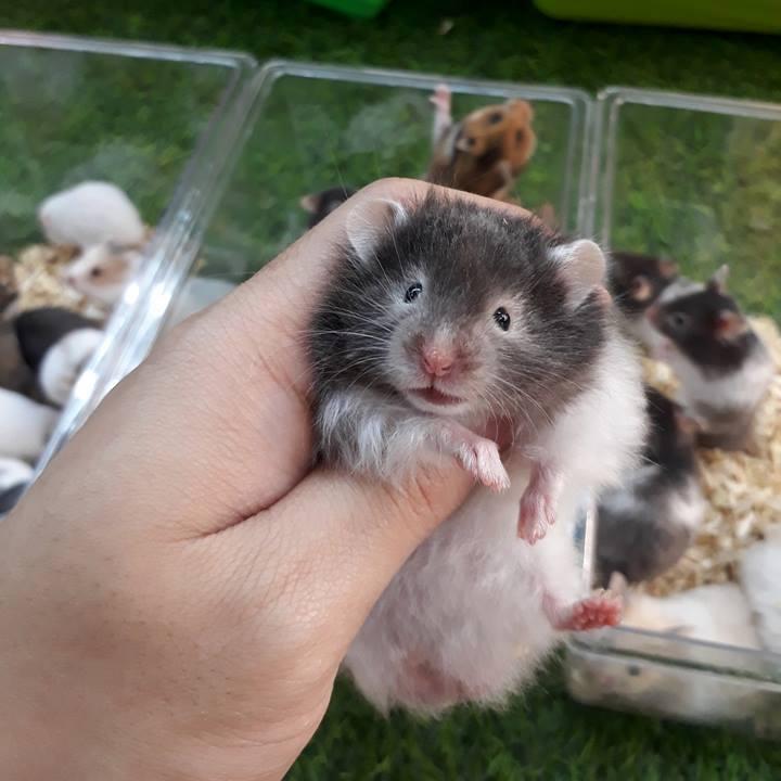 Hamster Bear bò sữa mắt kính