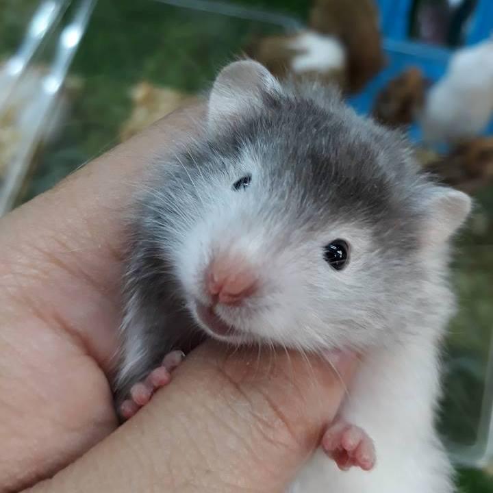 Hamster Bear trắng đầu xám