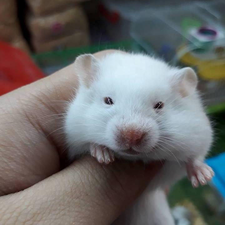 Hamster Bear abino
