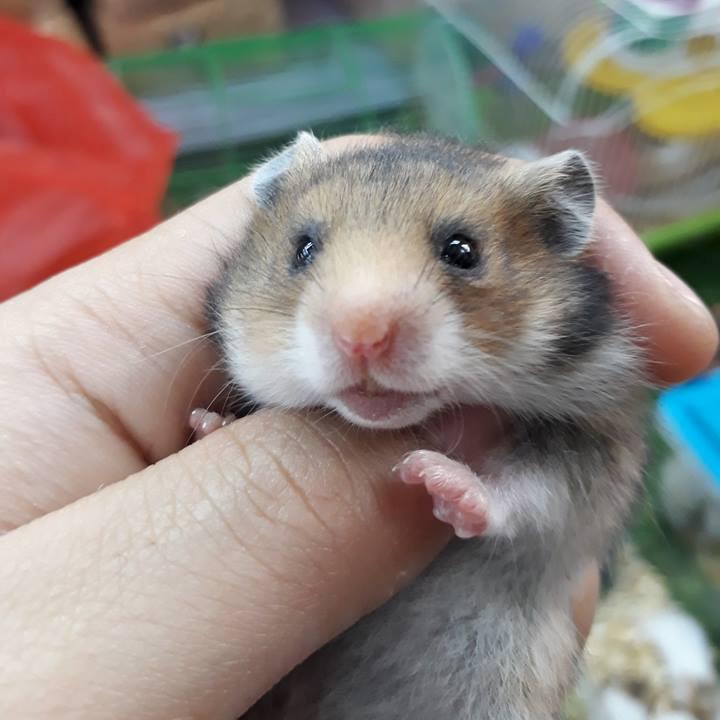 Hamster Bear golden