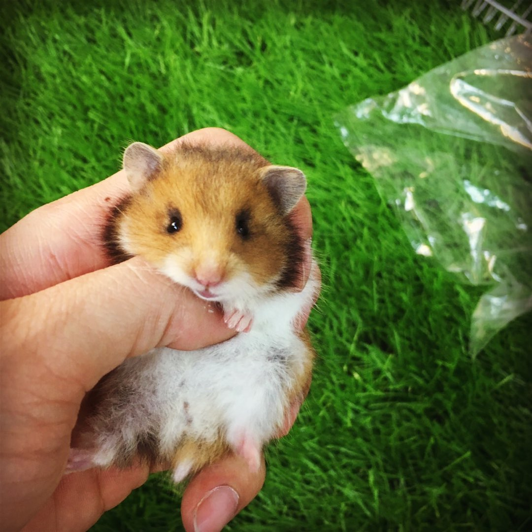 Hamster bear tam thể