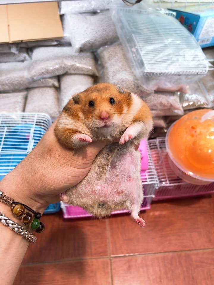 Hamster bear siêu bự