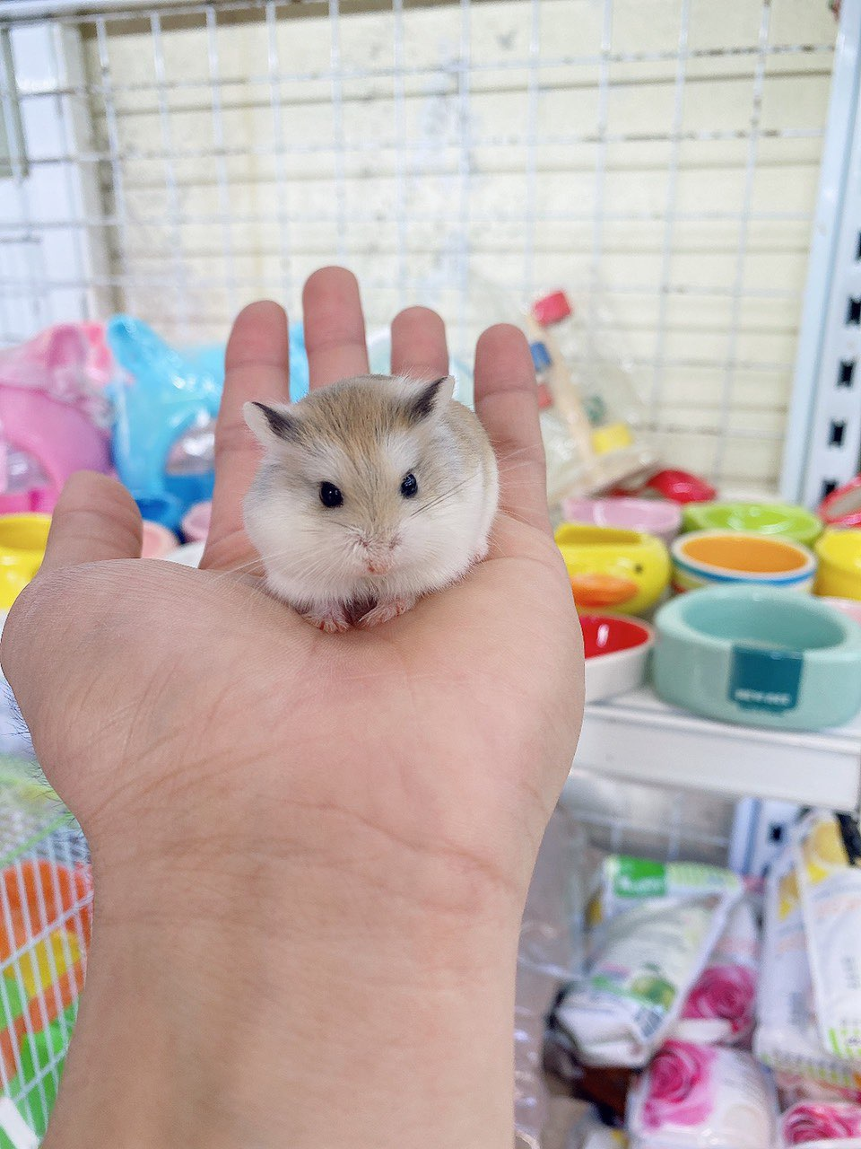 Hamster robo mặt nâu