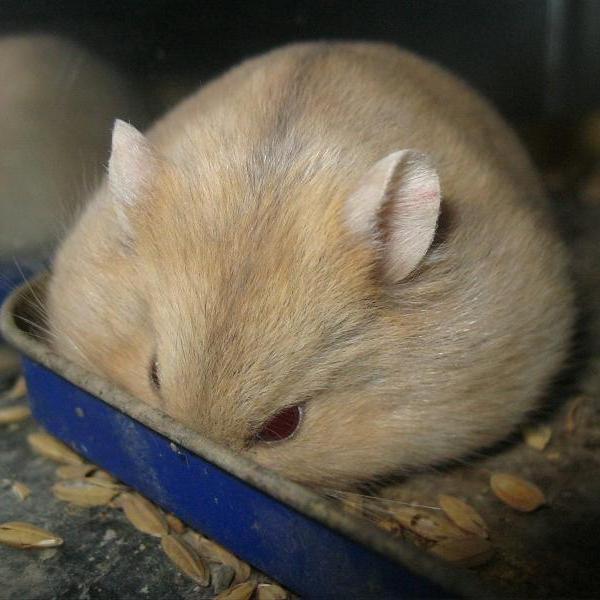 Hamster Winter White trà sữa
