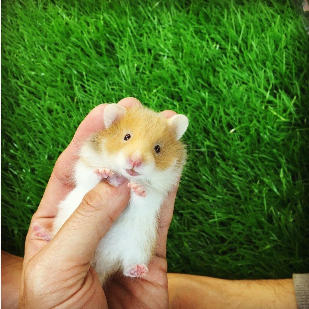 Hamster bear màu vàng cam