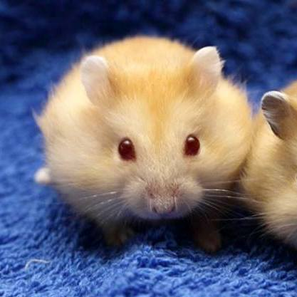Hamster Winter White vàng chanh