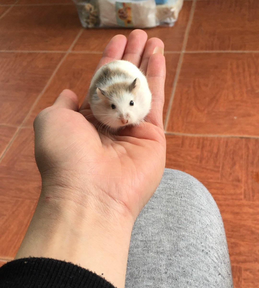 Hamster robo bò sữa ( pied)