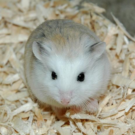 Hamster Robo mặt trắng
