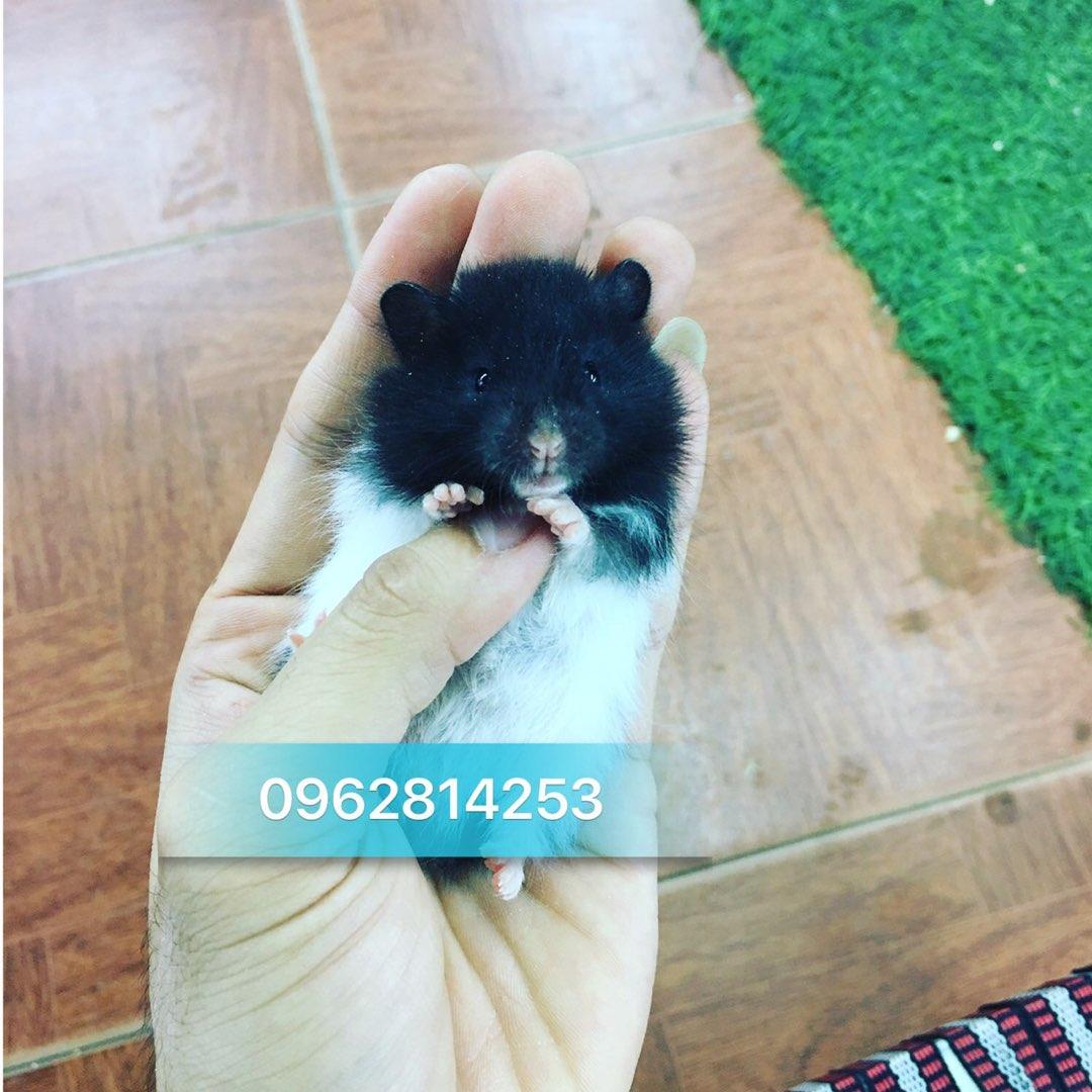 Hamster màu bò sữa