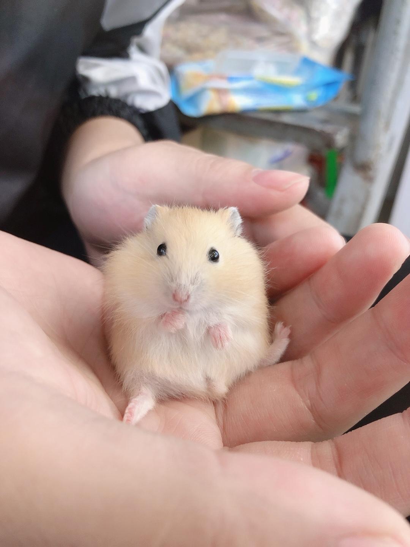 Hamster winter white bông lan