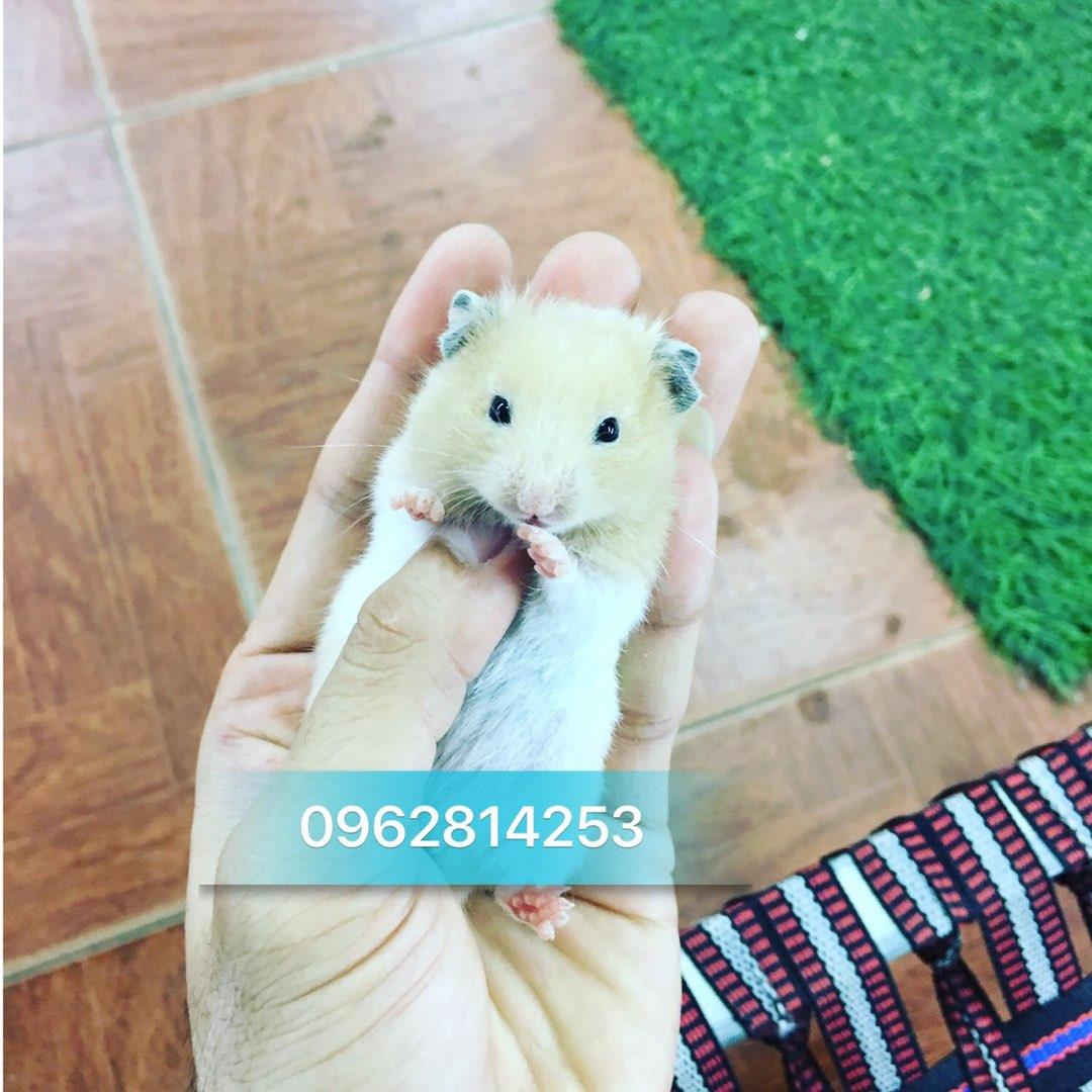 Hamster bear màu kem