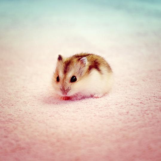 Hamster Winter White sóc