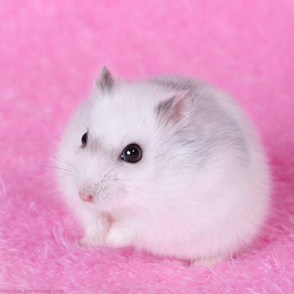 Hamster Winter White trắng sọc