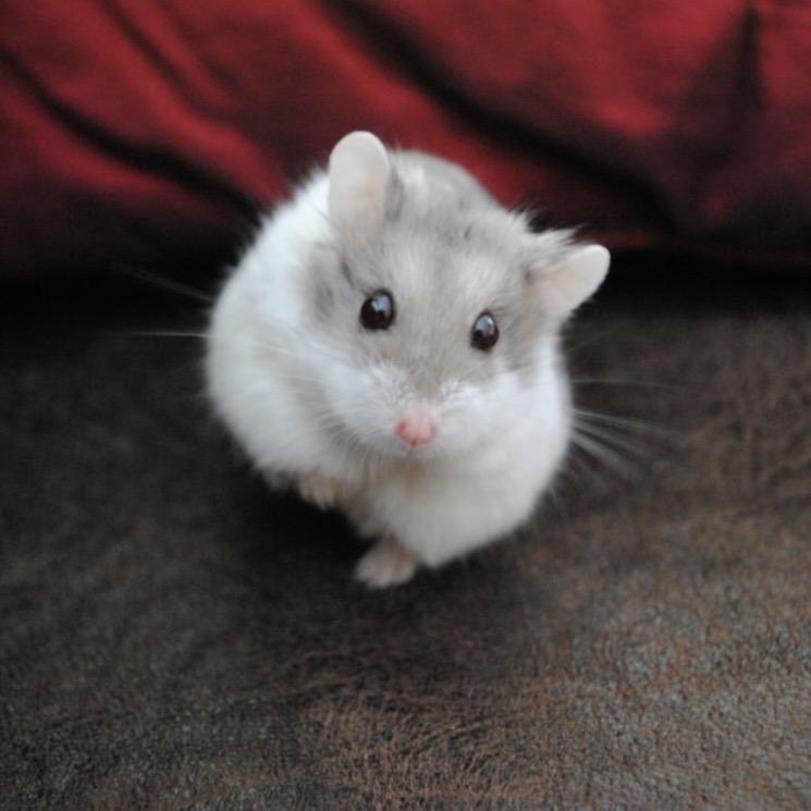 Hamster Winter White sapphire