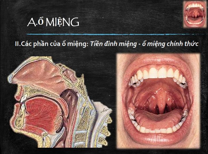 Miệng răng lưỡi tuyến nước bọt