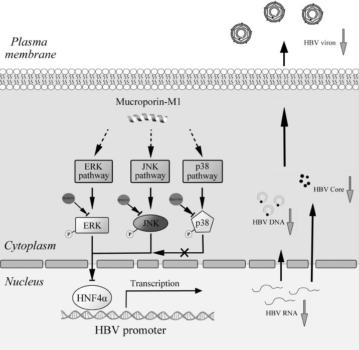 HBV-RNA, dấu ấn mới theo dõi bệnh lý viêm gan B hiệu quả