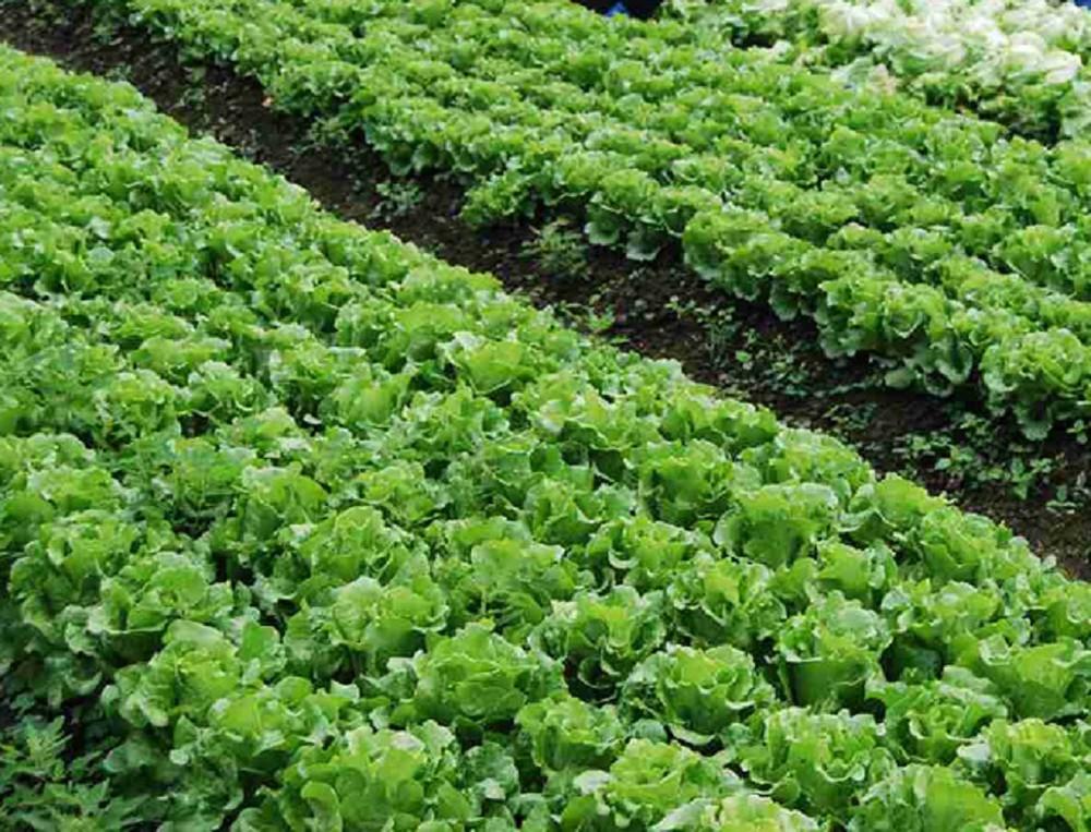 Kỹ thuật trồng và chăm sóc xà lách, củ cải, bí ngồi