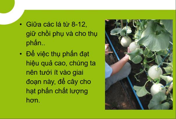 Hướng dẫn trồng dưa lưới trong nhà màng