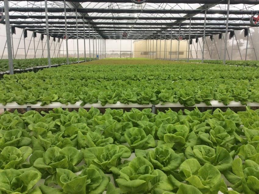 Quy trình sản xuất rau ăn lá
