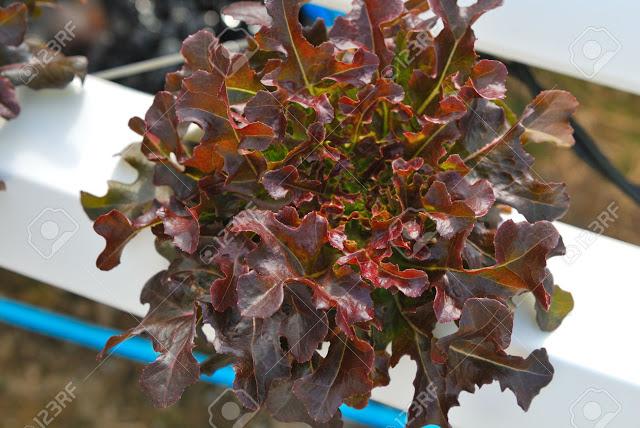 Oak leaft đỏ 1000 hạt