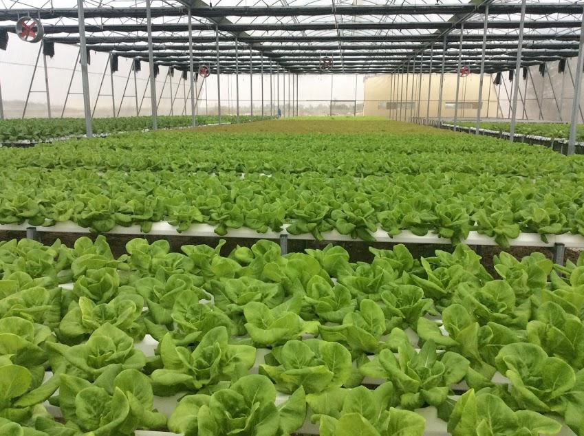 Trang trại trồng rau thủy canh tại Ninh Bình