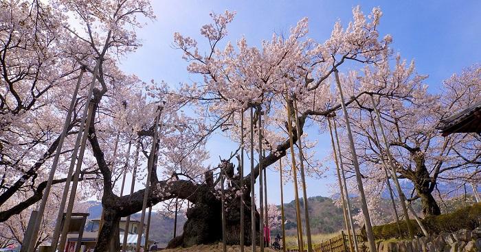 Cây hoa Anh đào lớn tại Nhật Bản