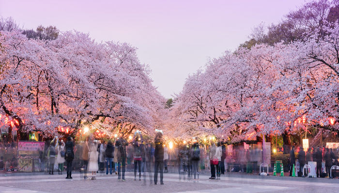 Ngắm hoa Anh đào công viên Ueno