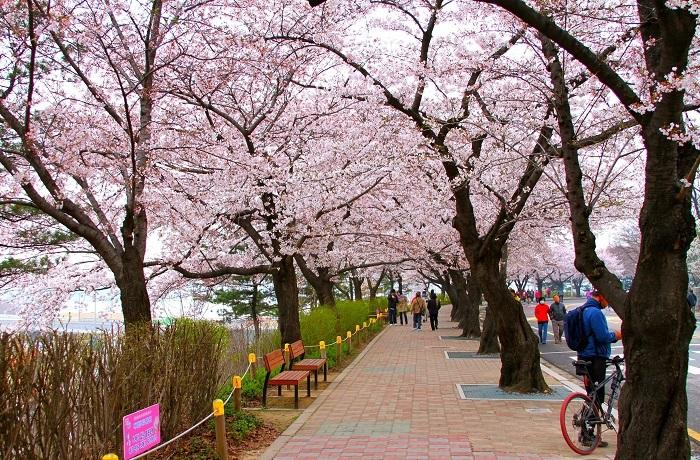 công viên anh đào Yeouido