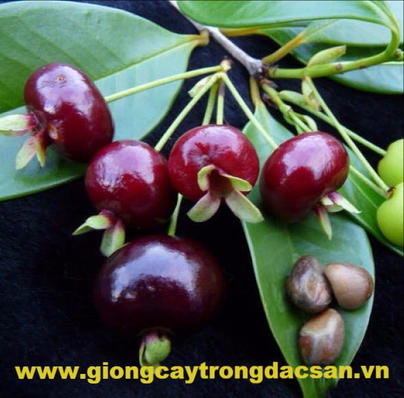 Cherry Brazil