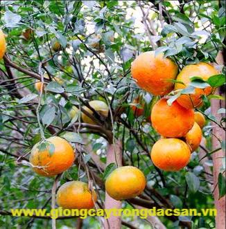 Cam Bù Hương Sơn