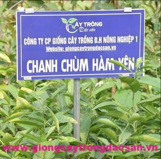 Chanh Chùm Hàm Yên