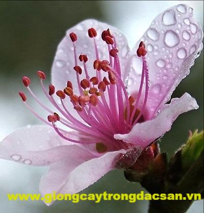 Đào Phai